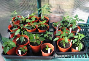 Chillies after 10 weeks