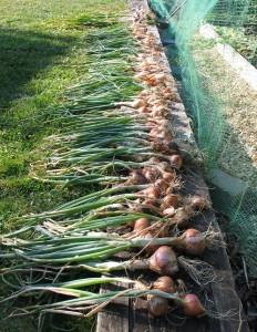 The Allium Harvest