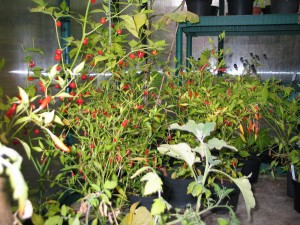 Chillies in Greenhouse